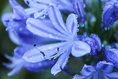 Blue flower (Laura-M.) Tags: flower fleur photographie photo pic picture macro macrographie color couleur bleu bleuet goutte gouttelettes réunion ile iledelaréunion island blue canon1100d canoneos1100d 1100d