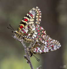 Dos en una (JoseQ.) Tags: macro sigma nikon mariposa insecto animal bichos colores coito dosenuno