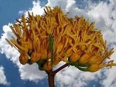 Goldenflower Century Plant (Agave chrysantha) bloom with Bush Katydid (Scudderia spp) (HockeyholicAZ) Tags: arizona sr87 northernarizona payson rye gisela duthiemartinhighway beelinehighway mountord mogollon mogollonrim agave yellowflower flower bloom katydid grasshopper clouds