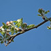 Apfelbaum - Blütenknospen