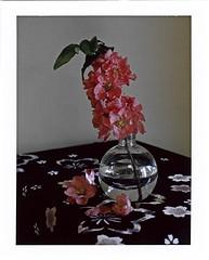 branche de congnassier du japon en fleurs (JJ_REY) Tags: cognassier japon quincetree japan branche blossom fuji instantfilm fp100c peelapart toyofield 45a sironarn 150mmf56 epsonv800 roidweek spring2017 colmar alsace france
