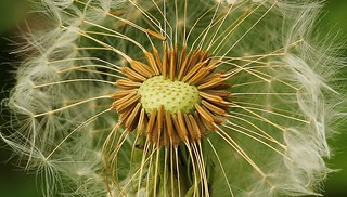 Dandelion Seedhead 140417