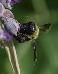 Bee_SAF3783 (sara97) Tags: bee copyright©2016saraannefinke flyinginsect insect missouri nature outdoors photobysaraannefinke pollinator saintlouis towergrovepark urbanpark wildlife