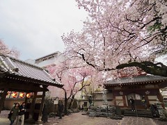 IMGP5730 (digitalbear) Tags: pentax q7 08widezoom 17528mm f374 nakano doori sakura cherry blossom blooming full bloom tokyo japan araiyakushi arai yakushi baishoin