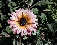 African Daisy 'Pink Creeper' (J_Richard_Link) Tags: arctotispinkcreeper plant theruthbancroftgarden flower africandaisy macroflower