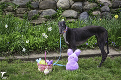 Easter Surprise (houndstooth4) Tags: dog greyhound flattery 1552 52weeksfordogs
