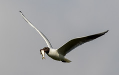 Daw End Branch Canal-102.jpg (andy_click) Tags: black headed gull