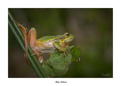 Hyla Arborea... (Canconio59) Tags: hylaarborea rana ranitadesanantonio frog verde green macro naturaleza nature galicia españa spain