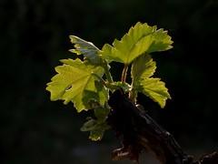 Breathing (Alberto González 13) Tags: parra uva verde green hoja sol hojas tronco fondo desenfoque grape vine tallo puesta de respirar breathing panasonic lumix