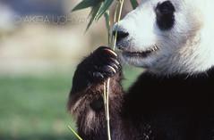 ZOO0473 (Akira Uchiyama) Tags: 動物たちのいろいろ 手 手ジャイアントパンダ