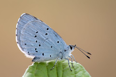 Faulbaum-Bläuling │ The holly blue │ Celastrina argiolus (Bluesfreak) Tags: tagfalter faulbaumbläuling thehollyblue celastrinaargiolus schmetterlinge insekten butterflies