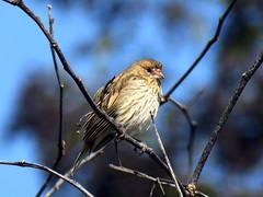 Jilguero con frio. (jagar41_ Juan Antonio) Tags: animales aves ave pájaros pájaro jilguero jilgueros
