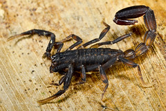 Buthidae, Ananteris (aracnologo) Tags: amazon amazonia amazonforest amazonbiome amazônia arachnida arachnid aracnídeo scorpiones scorpion escorpião escopião alacrán buthidae buthid ananteris ananterinae mazagão amapá