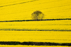 Tree in yellow. (pstone646) Tags: flowers flora colour yellow fields landscape panorama kent view tree hedgerow