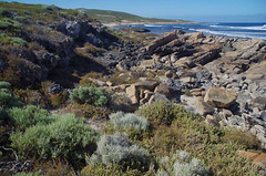 Limestone on granite-gneiss with Leucophyta brownii, Olearia axillaris, Tetragonia decumbens and Frankenia pauciflora, Ellensbrook Beach, near Margaret River, WA, 16/02/17 (Russell Cumming) Tags: plant leucophyta leucophytabrownii olearia oleariaaxillaris asteraceae weed tetragonia tetragoniadecumbens aizoaceae frankenia frankeniapauciflora frankeniaceae rock limestone granitegneiss ellensbrookbeach margaretriver westernaustralia