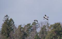 Common goldeneyes (m2onen) Tags: commongoldeneye goldeneye bucephalaclangula telkkä duck seabird waterfowl sony a6300 sel55210 tcon17x