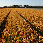 Noordwijkerhout: Flower Fields thumbnail