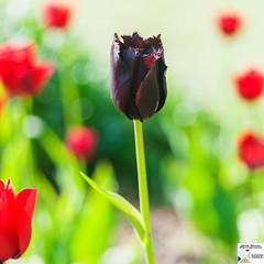 MedGard_DSC6948 (Nick Woods Photography) Tags: tulip tulips flower flowers flowercloseup colour colourful colours colourfulflowers plant plants greenery green greenleaves spring springcolours springflower red redflower purpleflower purple purplepetals redpetals medicinegarden themedicinegarden cobham surrey