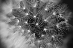 feathers (Snowy5) Tags: shropshire telford feathers dandilion detail seeding clock times macro nature flower blackwhite bw colour 100mm 18 canon600d snowy5