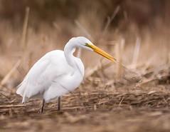 Great Egret (claudiaulrikegoodall) Tags: