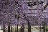 DSC_1656 (sayo-tsu) Tags: 埼玉県 春日部市 kasukabe saitama wisteria 藤 特別天然記念物 牛島のフジ