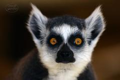 One short moment (MaiGoede) Tags: katta lemuren lemuridae lemuriformes lemurcatta primaten primates feuchtnasenprimaten animals animal animalportrait tiere tier tierportrait tierparkundfossiliumbochum bochum nordrheinwestfalen nrw germany strepsirrhini gewöhnlichemakis fauna nikon säugetier