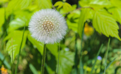 """Dandelion (from French dent-de-lion, meaning """"lion's tooth"""") (marianna.mangiorou) Tags: flower spring white green dandelion sunny"""