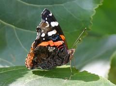 Vanessa atalanta (M a r i S à) Tags: redadmiral farfallavulcano butterfly vanessaatalanta papillioatalanta redadmiralatalanta pyrameisatalanta pyrameisammiralis lepidoptera macro