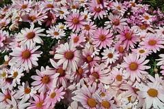 April bloom (namhdyk) Tags: bloom flower flowers canon canonpowershot canonpowershotg7x