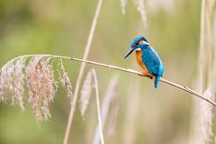 BRIT2194-2 (goodluxphotos) Tags: kingfisher eisvogel