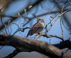 White-throated Sparrow (piano62) Tags: birds whitethroatedsparrow birdmigration chicago chicagoriver urbanwildlife urbannature nikond750 tamron150600mm