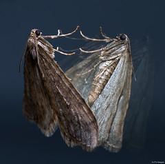 Spiegelbild (otto.hitzegrad) Tags: falter motte nachtfalter schmetterling insekten spiegelbild