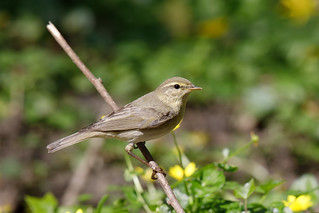 Willow warbler (Swell Wood)
