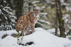 Eurasischer Luchs (lars.begert) Tags: bayrischerwald eurasischerluchs luchs bavarianforest lynxlynx