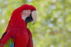 Macaw (parry101) Tags: animal animals tampa flordia us usa america busch gardens buschgardens nature outdoor geraint parry geraintparry bird birds macaw macaws parrot parrots