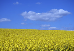 Canola under Blue skies (neilalderney123) Tags: ©2017neilhoward winchester olympus landscape crop canola rapeseed yellow farming sky