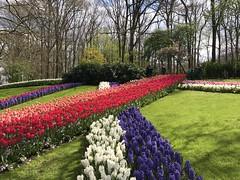Keukenhof - Tulip Gardens (darrenboyj) Tags: lines pattern flower flowerbed attraction keukenhof holland netherlands event spring color colour hyacinth tulip