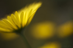 Delightfully Coy (shawn›raisin d+p) Tags: 50mm doronicumorientale leopardsbane macro nature plant beauty bokeh calm charm daisy dream dreamy enchanting extensiontube flower spring sumptuous tranquil yellow