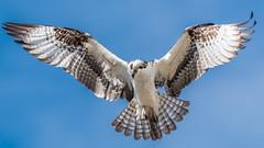 Osprey On The Lookout (Vic Zigmont) Tags: osprey birds birdinflight raptor