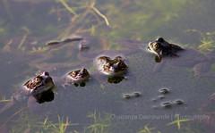 All at Attention (Chaitanya Deshpande   Photography) Tags: spring wildlife amphibian toads frog toad frogs amphibians wimbledon wimbledoncommon ukwildlife wildlifeinthecity ukspring