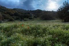 Rich fields near home (Ryoushi no syokubutsuen) Tags: flowers wild plants plant orchid photography leiden europe european orchids kreta ramon terrestrial krete bril orchis flowerorchidaceae