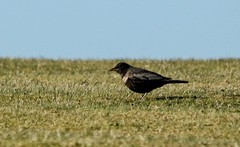 """Ring Ouzel, Golf Course, St. Mary's, 16.04.14, K.Webb. • <a style=""""font-size:0.8em;"""" href=""""http://www.flickr.com/photos/30837261@N07/13909975562/"""" target=""""_blank"""">View on Flickr</a>"""