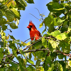 Northern Cardinal (bob in swamp) Tags: red male bird cardinal florida northern cardinaliscardinalis palmbeachcounty cardinalis northerncardinal cardinalidae northpalmbeach taxonomy:binomial=cardinaliscardinalis munyonisland