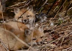 Fox Kits (Katherine Chawner Davis) Tags: nature pups wildlife fox kits redfox