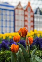 Tulipmania 2014 @ GBTB (gintks) Tags: flower singapore tulips flowerdome gardensbythebay singaporetourismboard gbtb