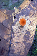 Fungo (Edson Grandisoli. Natureza e mais...) Tags: fungi tropical floresta fungo amaznia regiocentrooeste decompositor