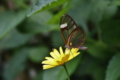Cristal (Daniela Alejandra G) Tags: naturaleza insectos flower macro green nature canon butterfly eos flora colombia flor natura alas mariposa canoneos insecto quindío 400d canoneos400d canon400d calarcá alasdecristal