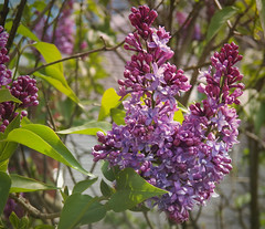 First lilac blooms (MissyPenny) Tags: flowers spring perfume purple lilac fragrant buckscounty lilacs southeasternpa bristolpennsylvania