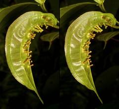 Melastom leaf with galls (Ecuador Megadiverso) Tags: naturaleza plant macro southamerica nature leaf stereogram ecuador flora natur pflanze equateur makro equador biodiversity gall melastomataceae biodiversidad südamerika neotropical neotropics andreaskay