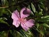 (Flor) (Marcos A Malagoli) Tags: flowers flores macro nature natureza flor fujifilm lilas